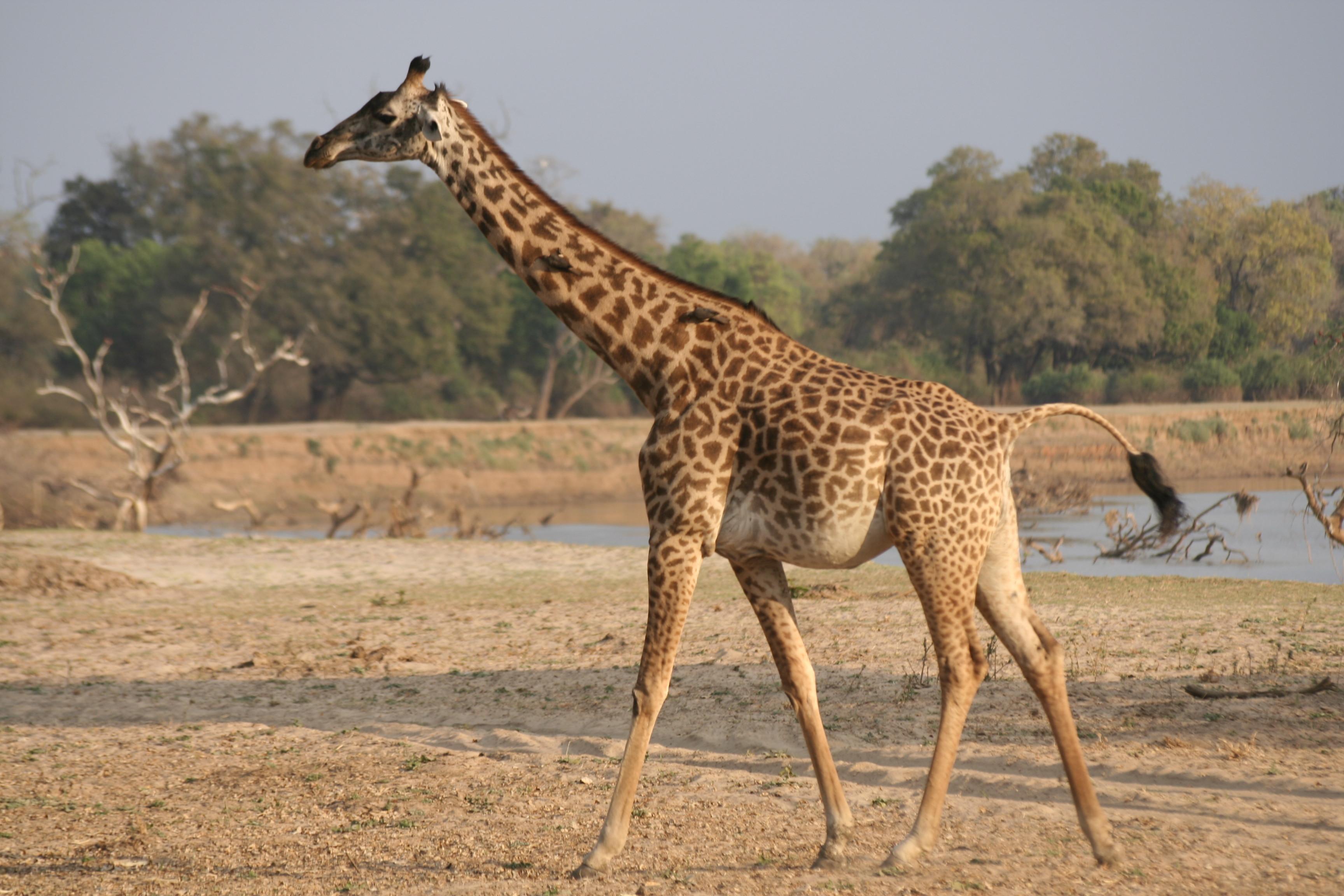 Een vd vele giraf-foto's