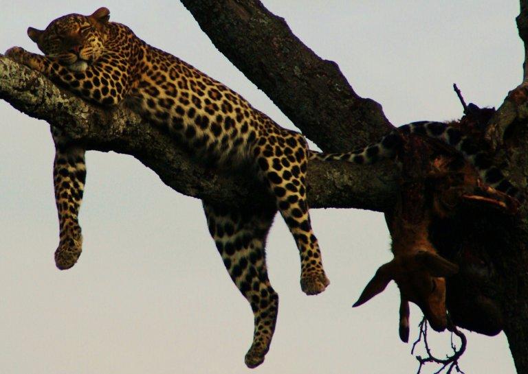 luipaard in de masai mara