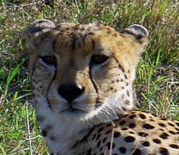 cheetah in de masai mara