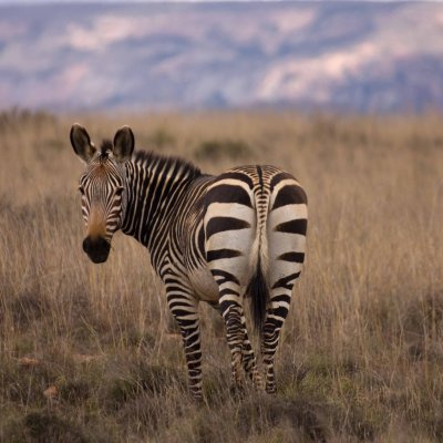 Voorvertoning Mountain Zebra