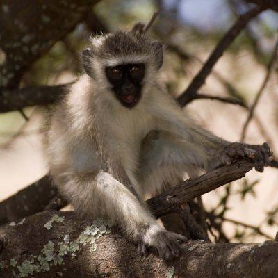 Voorvertoning Vervet aapje