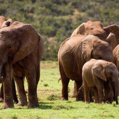 Voorvertoning Groep olifanten in Addo Elephant National Park