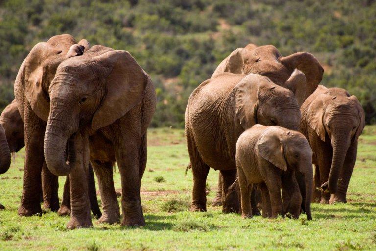 Groep olifanten in Addo Elephant National Park