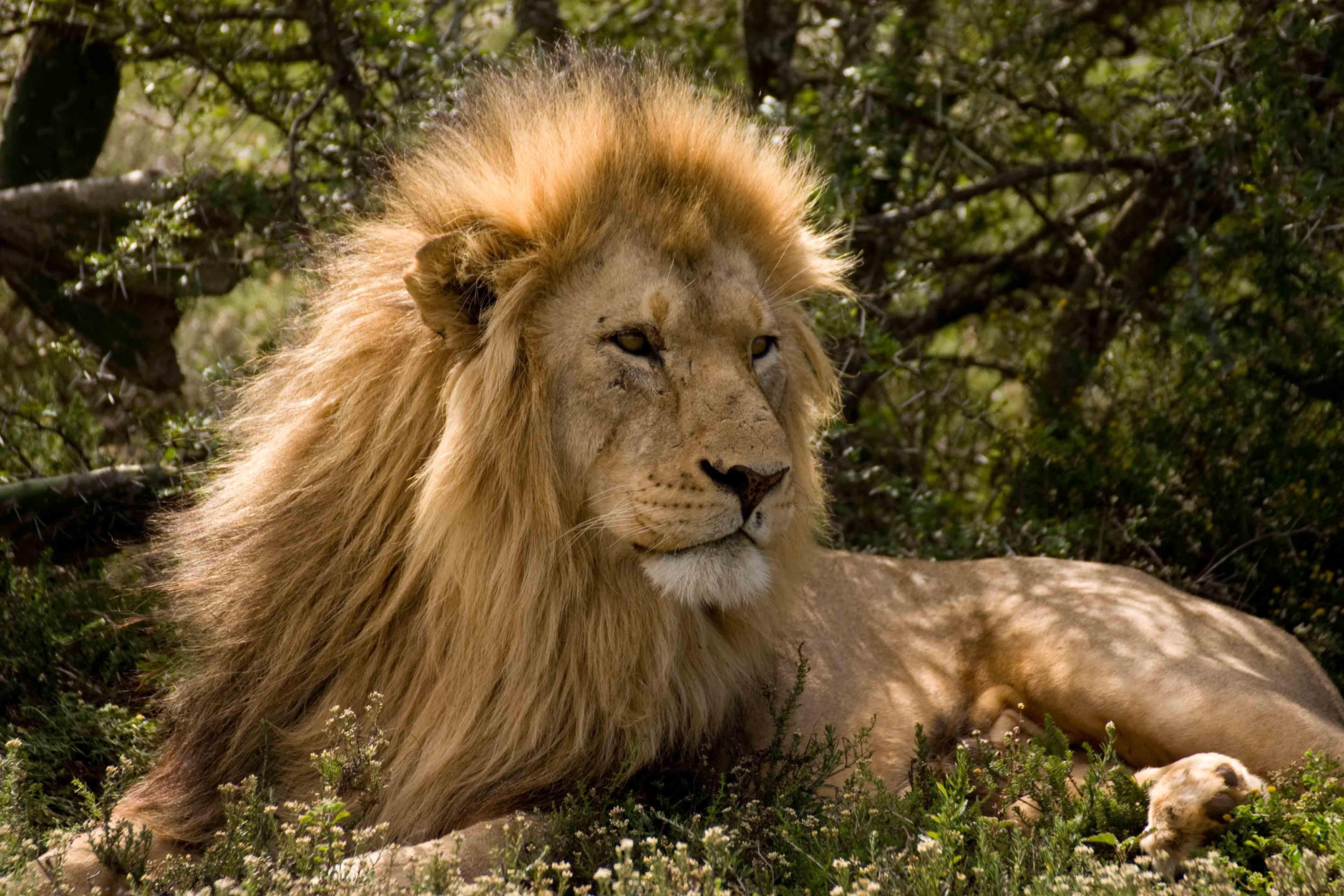 Leeuw in Schotia Game Reserve
