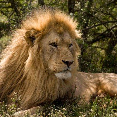 Voorvertoning Leeuw in Schotia Game Reserve