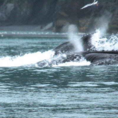 Voorvertoning 2 bekken van walvissen die happen naar kril