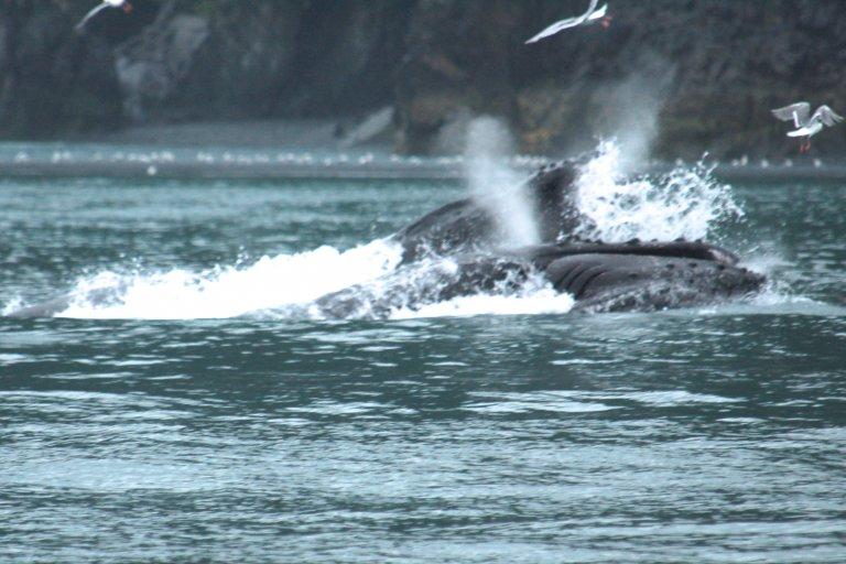 2 bekken van walvissen die happen naar kril