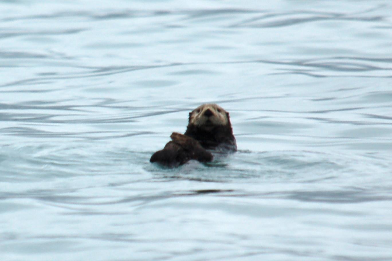 zee-otters die je heel veel ziet bij Seward