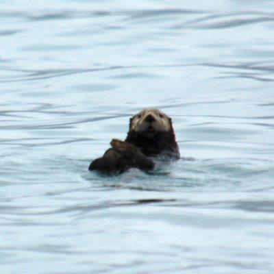 Voorvertoning zee-otters die je heel veel ziet bij Seward