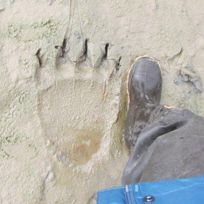 Voorvertoning Voetafdruk van een beer vergeleken met een mens.