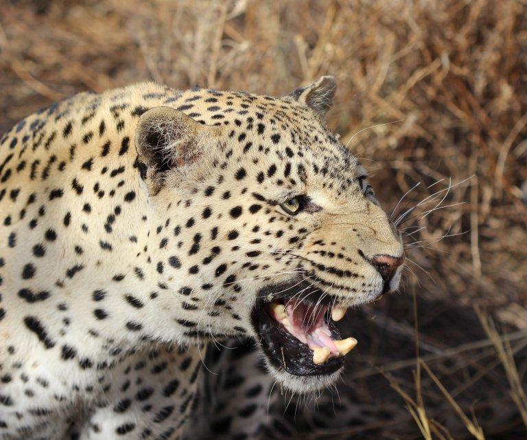 de prachtige luipaard