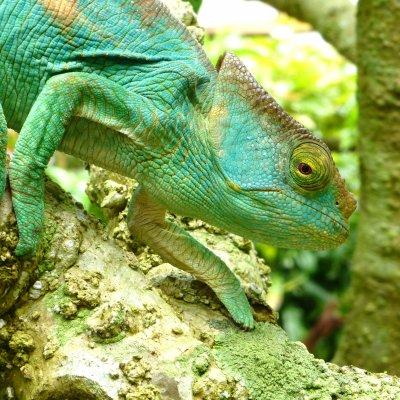 Voorvertoning Prachtige kameleons in Madagaskar Exotique