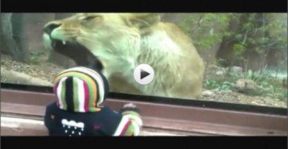 VIDEO: Leeuwin wil kind opeten