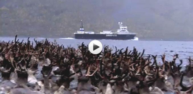 VIDEO: 3000 rendieren zwemmen