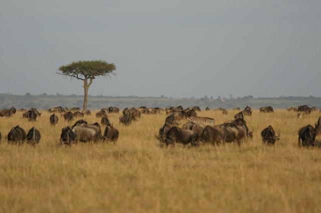 Wildebeesten tijdens de Great Migration.