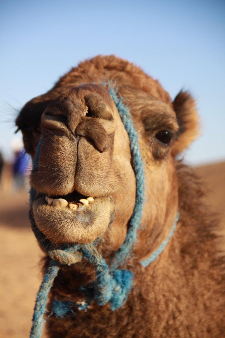één van de negen kamelen waarmee ik deze drie dagen door de Erg Chebbi heb gelopen
