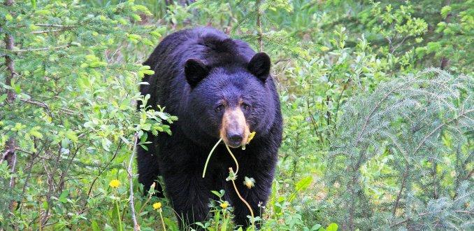 Blog van de week: berenspotten in Canada
