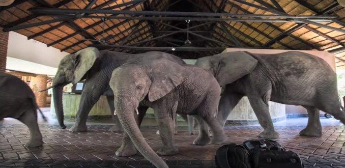 Video: Olifanten wandelen door de lobby van Zambiaans hotel