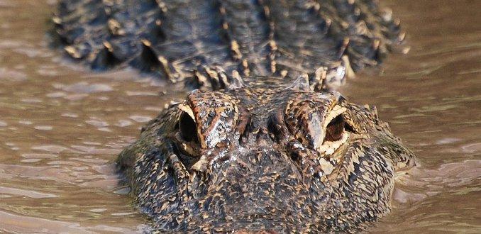 Gigantische alligator golft een potje mee