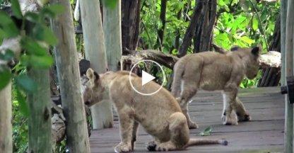 Deze hotelgasten krijgen een leeuwenroedel op bezoek