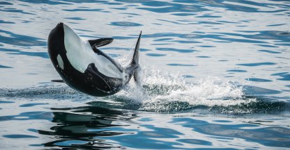 Orkatrainer bevestigt: dolfinaria mishandelen orka's