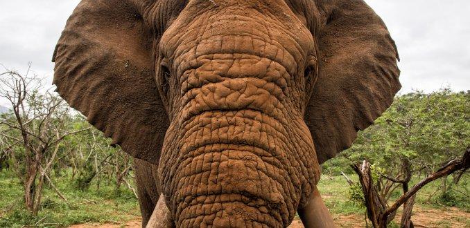 Wauw! Gids blijft enorm kalm tijdens olifantenaanval