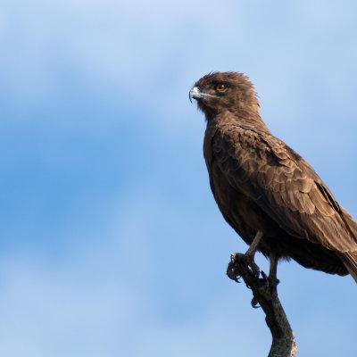 Voorvertoning Grote roof vogel