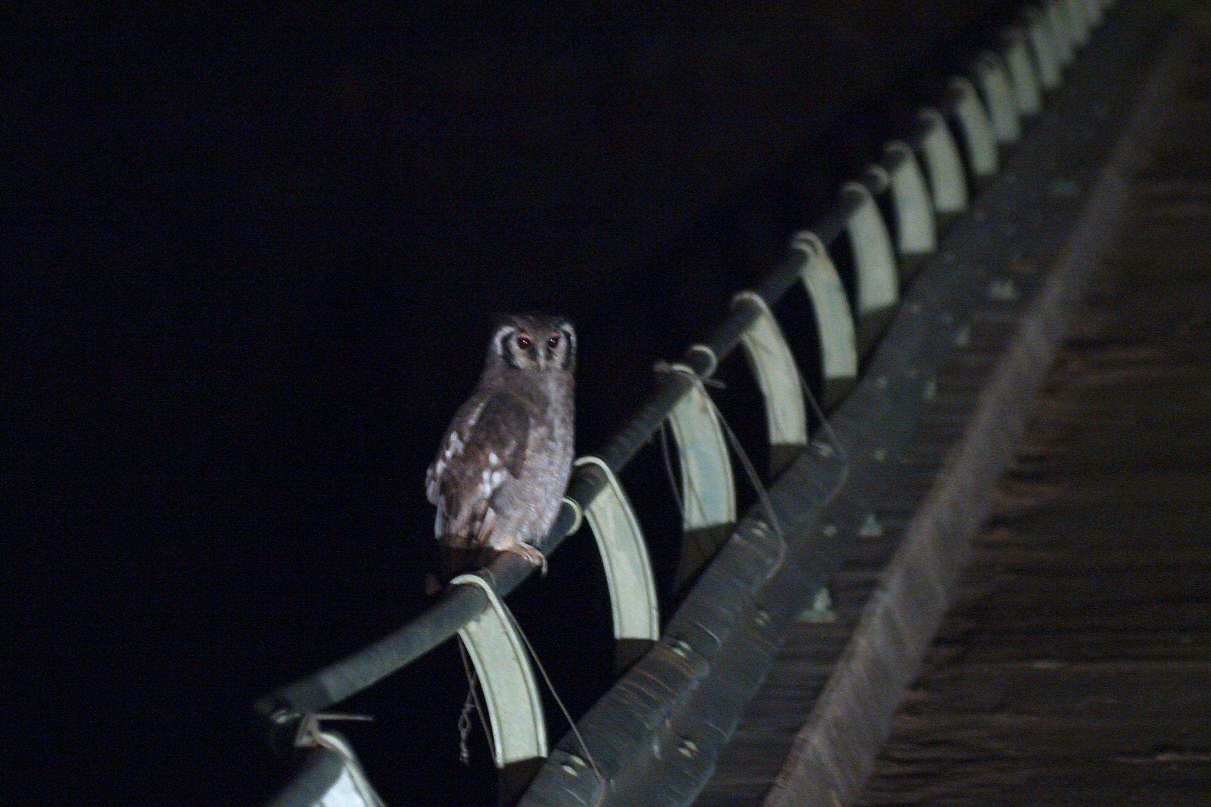Uil op de brug