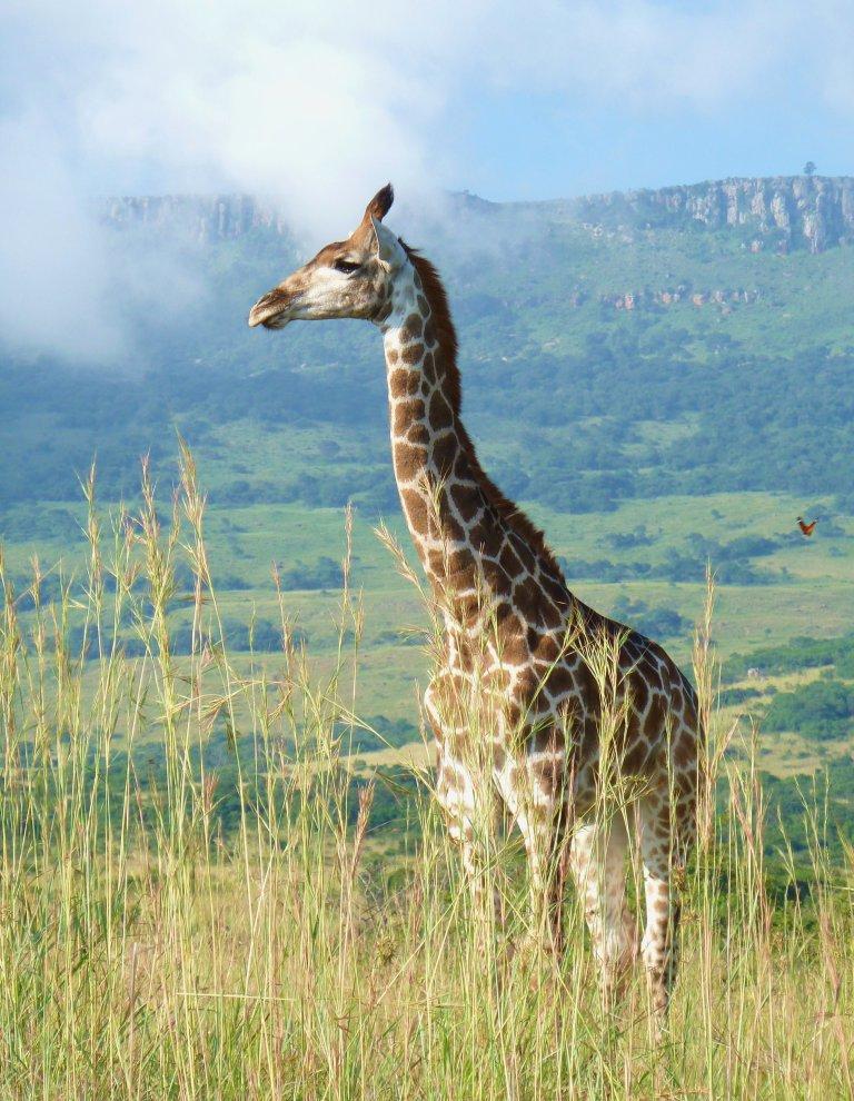 Giraf in Ithala. Giraf is het 'logo' van Ithala