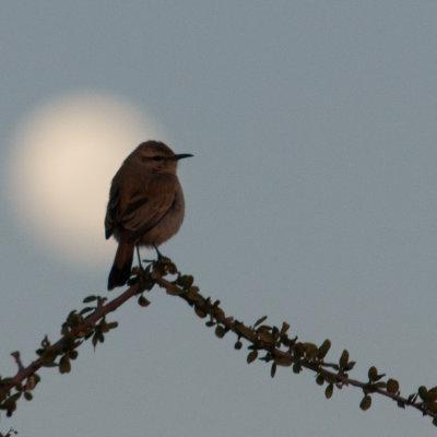 Voorvertoning Vogeltje vanaf ons terras met op de achtergrond de volle maan