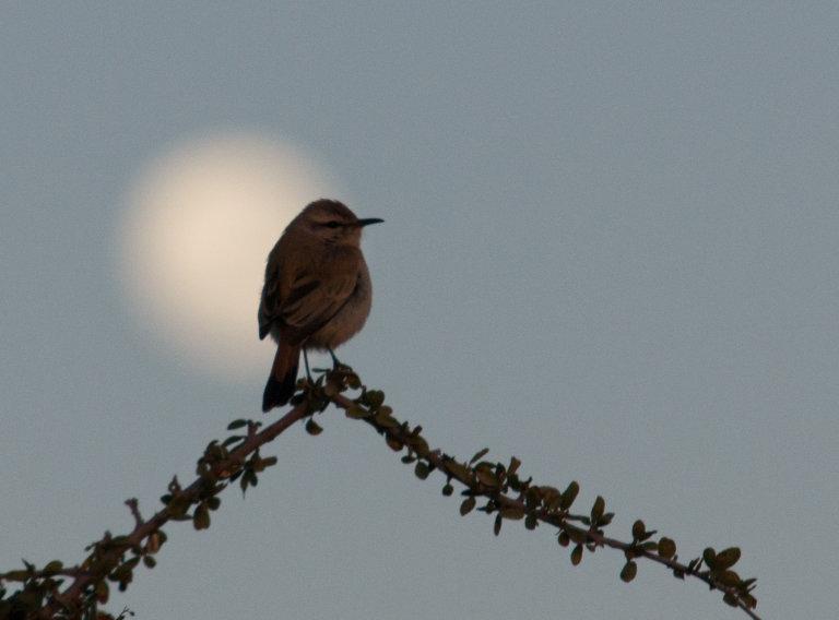 Vogeltje vanaf ons terras met op de achtergrond de volle maan