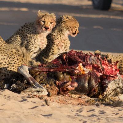 Voorvertoning 4 Cheetahs met hun prooi,