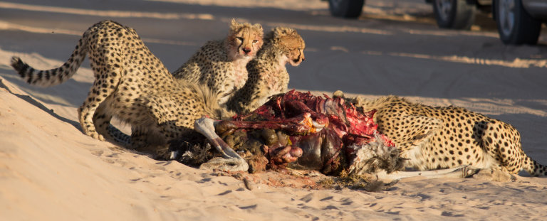 4 Cheetahs met hun prooi,