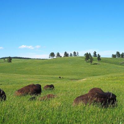 Voorvertoning Nebraska, golvend land met wat bisons