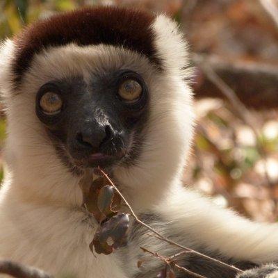 Voorvertoning Sifaka in Kirindy Private Reserve