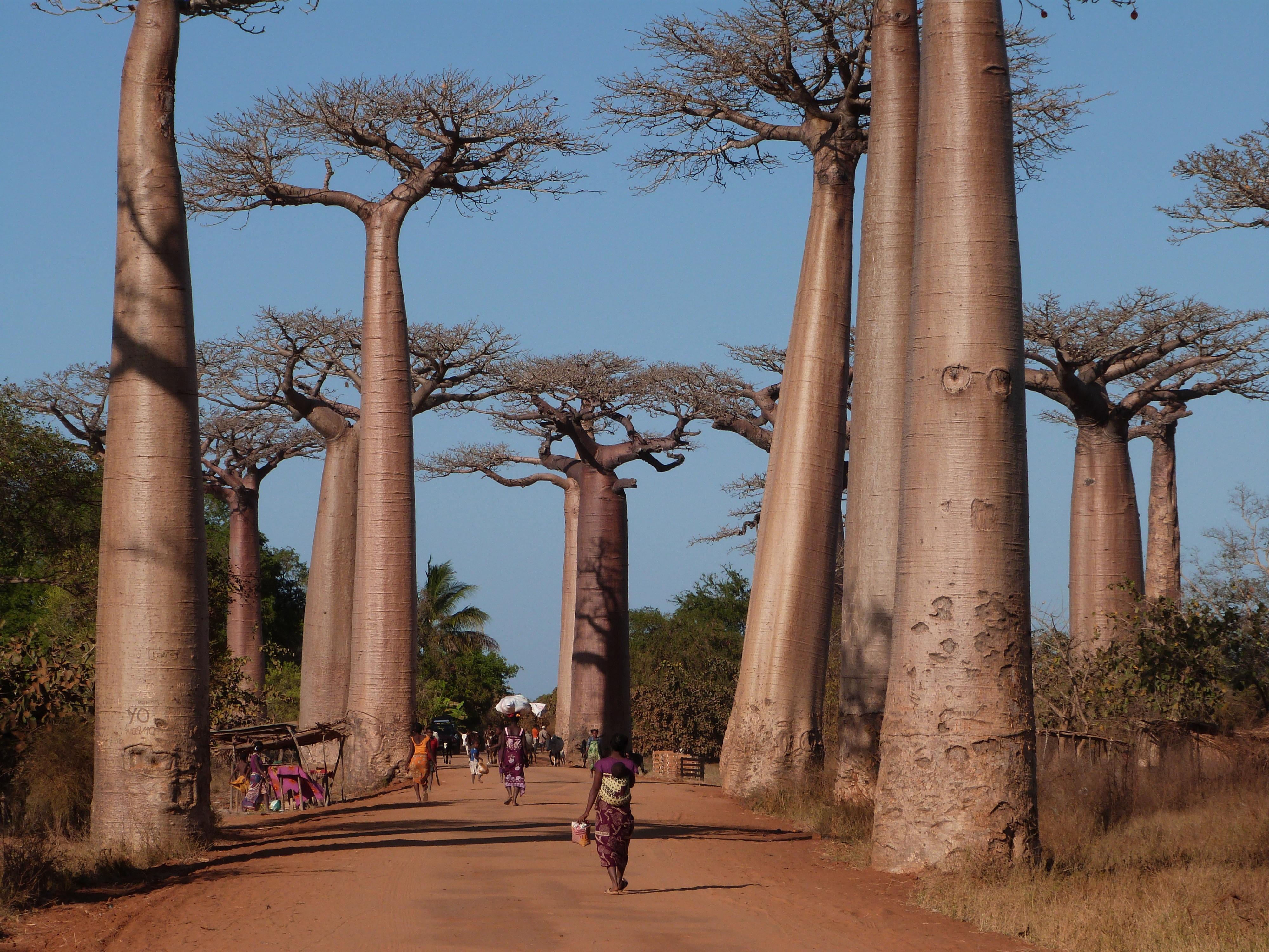 De Avenues des Baobabs is wel een must see als je in dit land bent.