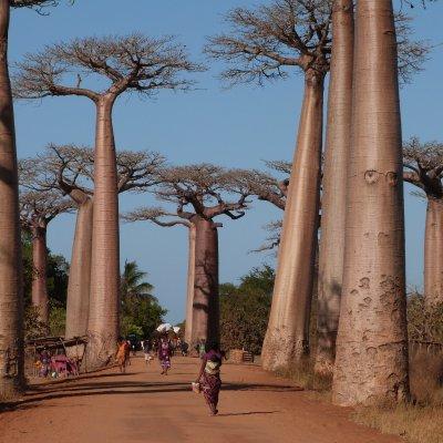 Voorvertoning De Avenues des Baobabs is wel een must see als je in dit land bent.