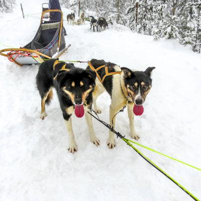 Voorvertoning Twee uitgeputte husky's