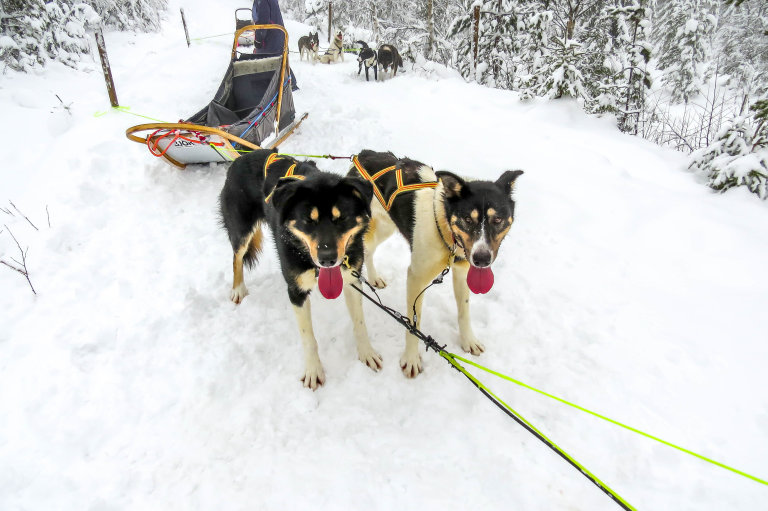 Twee uitgeputte husky's