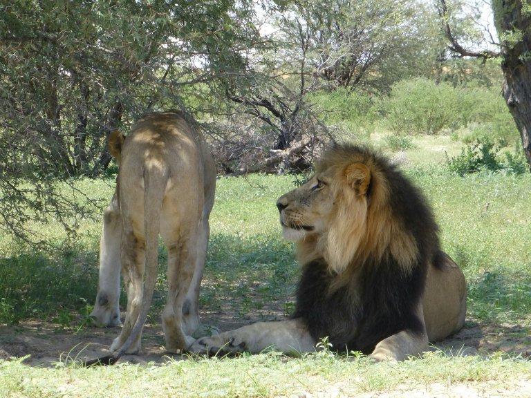 Hoofdfoto bij reisverhaal 'Parend leeuwenpaar'