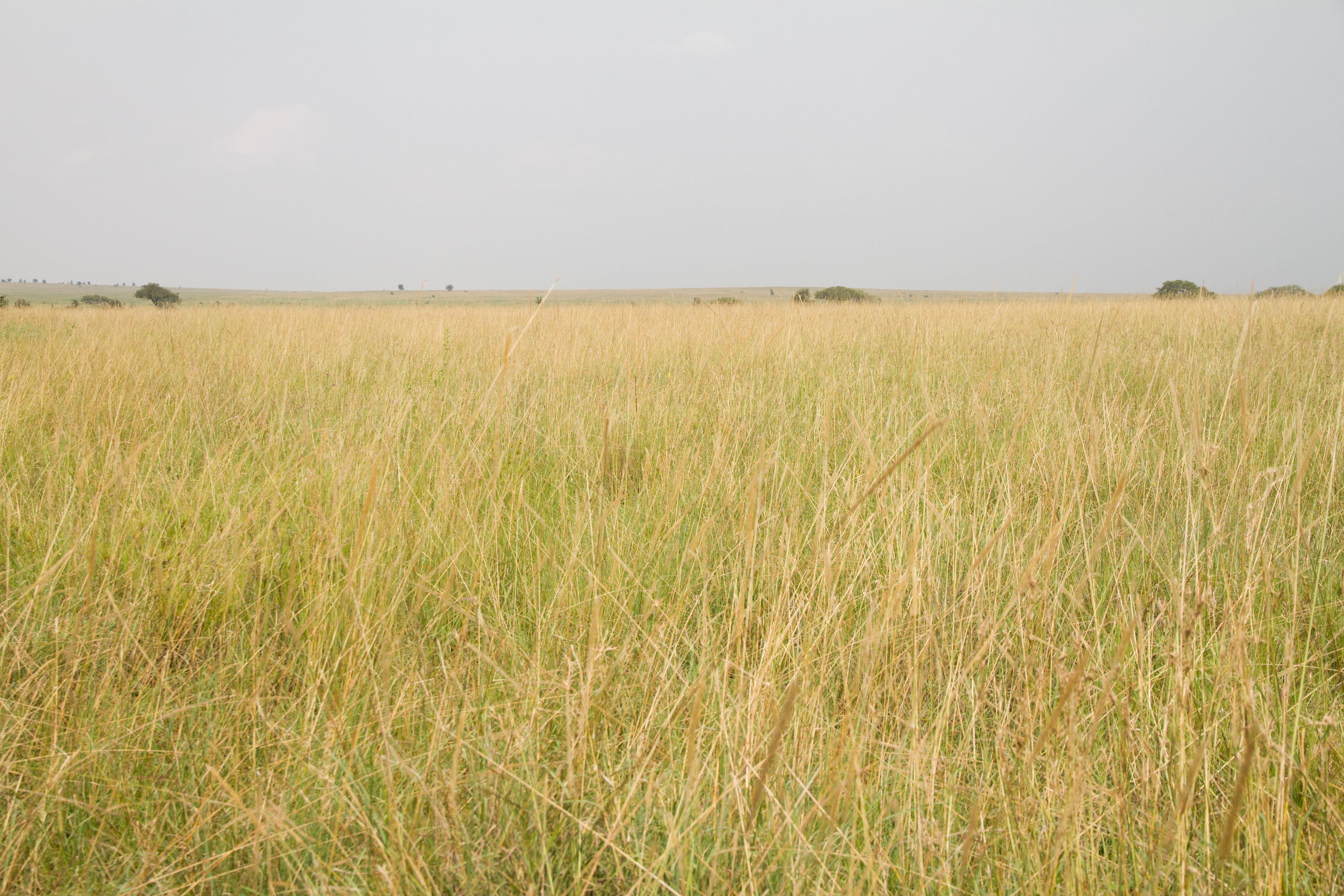 Het gras en de vlakte van Serengeti