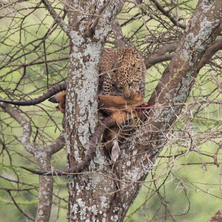 Luipaard jong