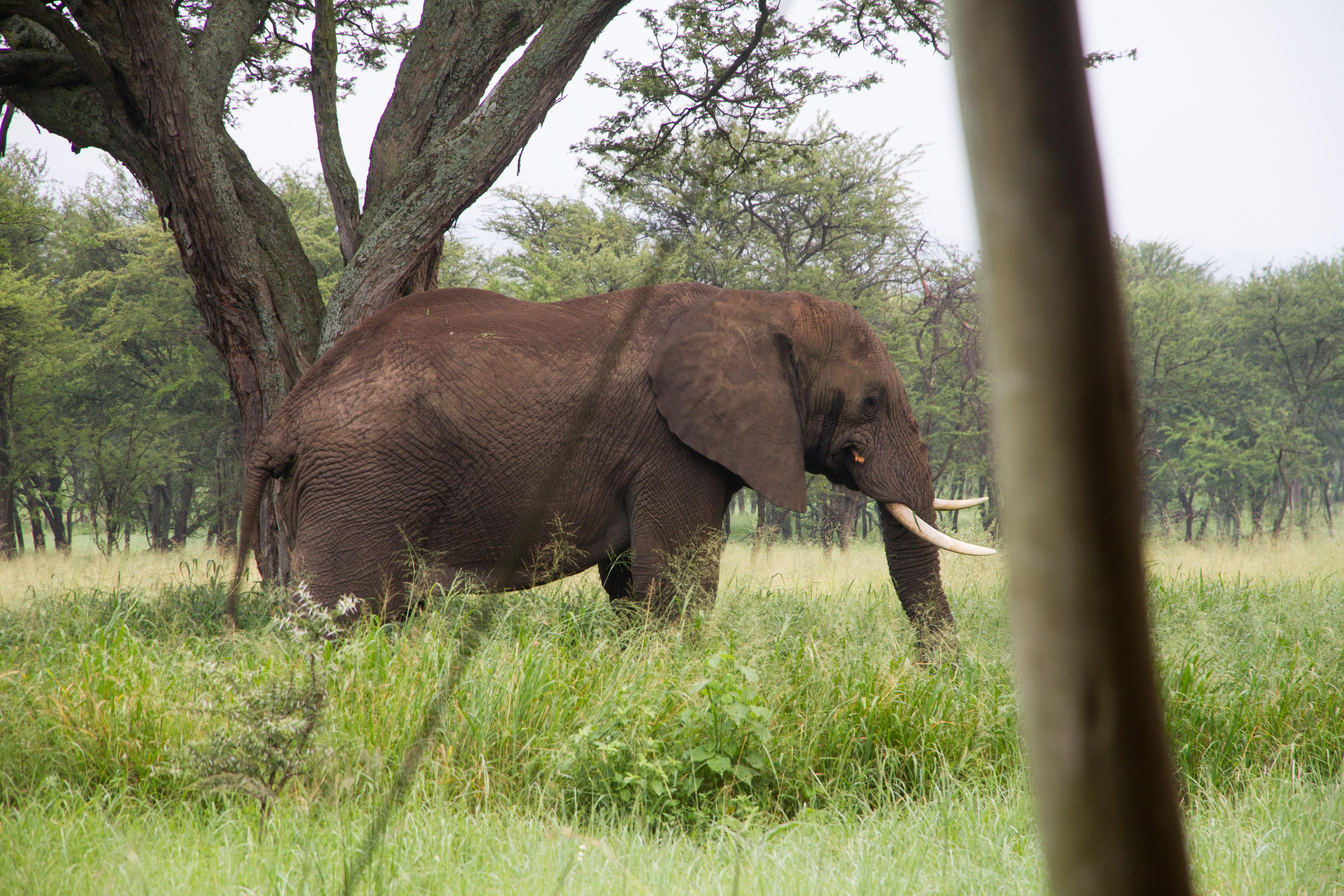 Onze olifant