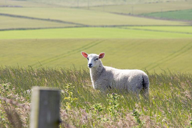 Onderweg zien we veel schapen en koeien.