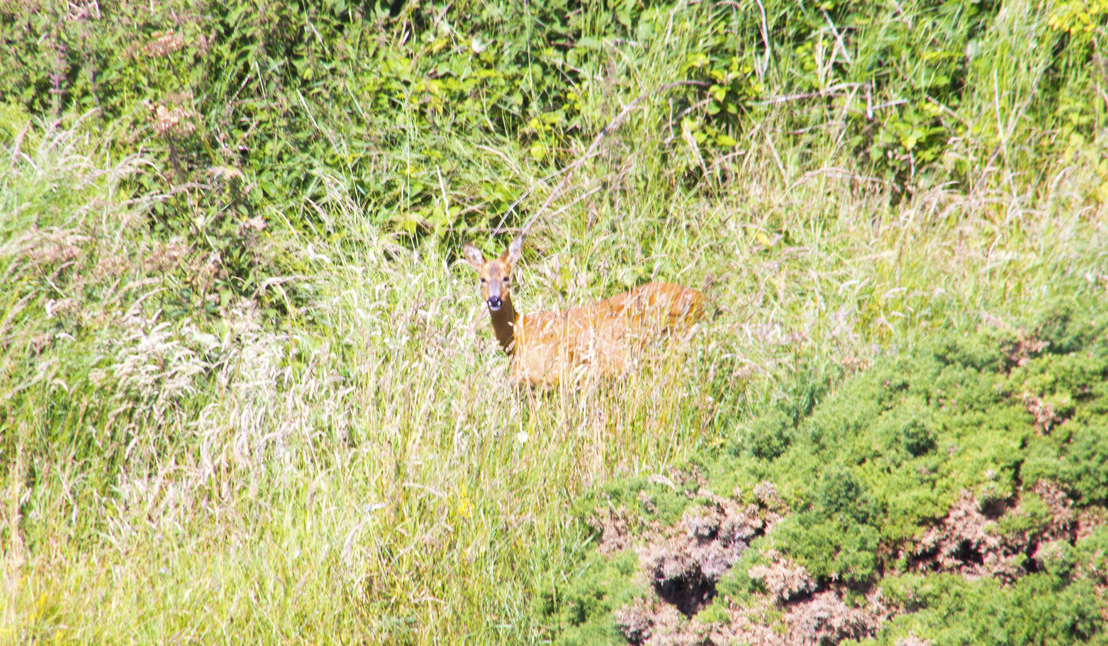 Een nieuwsgierig hert staart ons aan om vervolgens in de begroeiing te verdwijnen.