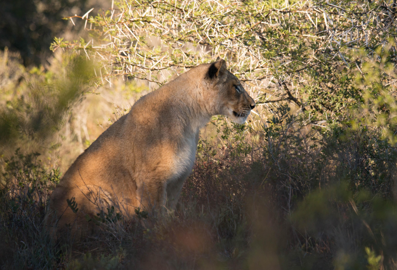 Tussen de struiken door spotten we een eerste jonge leeuw