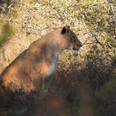 Voorvertoning Tussen de struiken door spotten we een eerste jonge leeuw