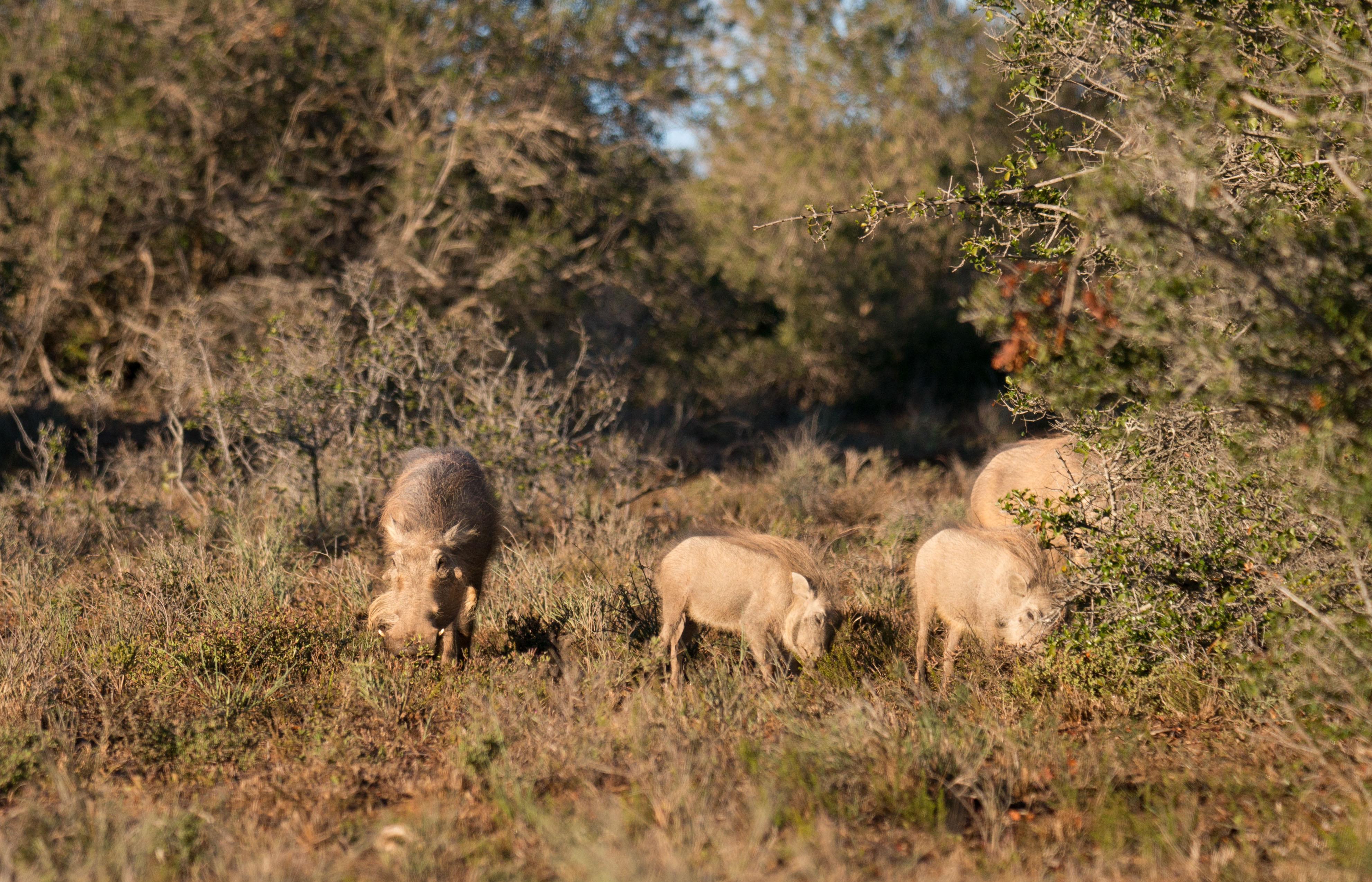 Met in de verte hun target in beeld, een familie wrattenzwijntjes