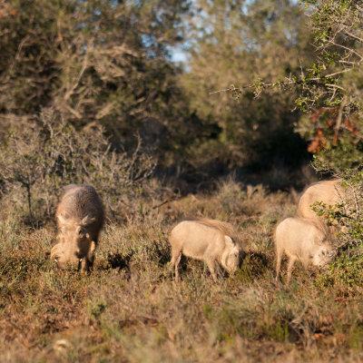 Voorvertoning Met in de verte hun target in beeld, een familie wrattenzwijntjes