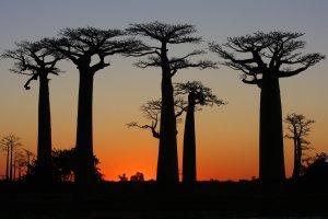 Baobabs in the sun